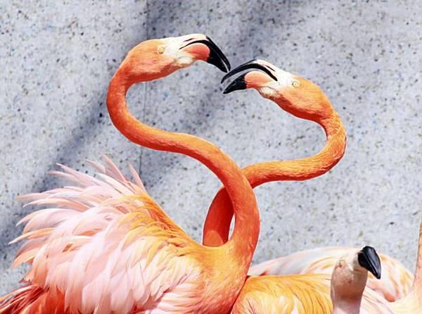 Влюблённые пеликаны