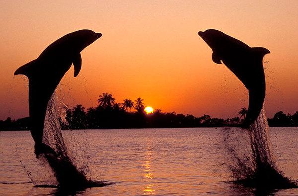Брачный танец дельфинов